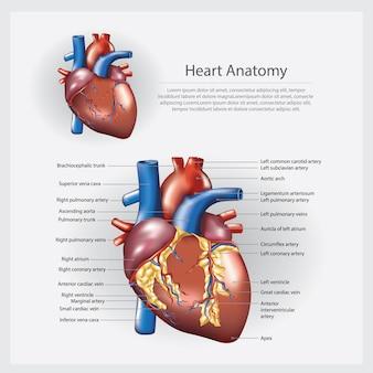 Anatomía del corazón ilustración vectorial