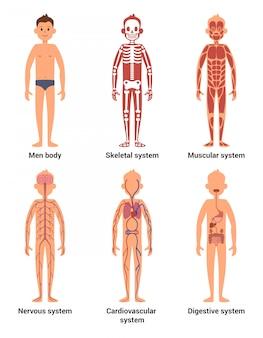 Anatomia corporal de los hombres.