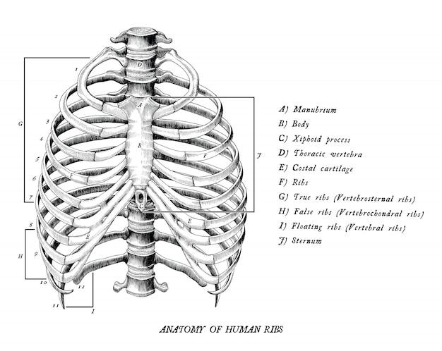 Anatomía de costillas humanas dibujar a mano vintage imágenes prediseñadas aislado sobre fondo blanco.
