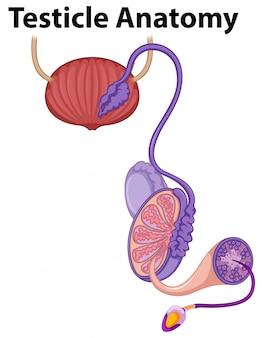Anatomía del testículo humano sobre fondo blanco