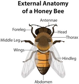 Anatomía externa de una abeja sobre fondo blanco.