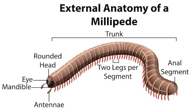 Anatomía externa de un milpiés sobre fondo blanco.