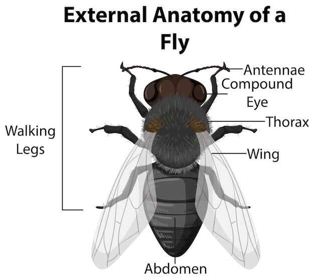 Anatomía externa de una mosca sobre fondo blanco.