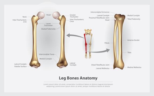 Anatomía humana huesos de la pierna con ilustración vectorial de detalle