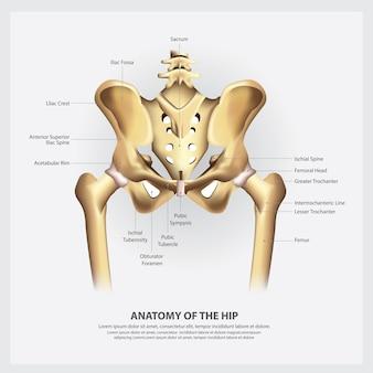 Anatomía humana de la ilustración de la cadera