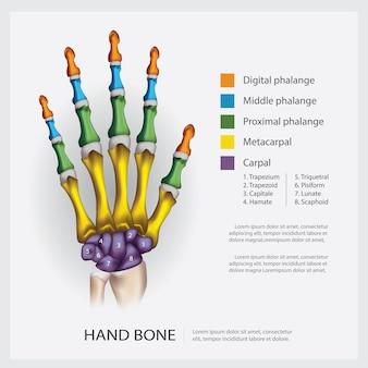 Anatomía humana, ilustración del hueso de la mano.