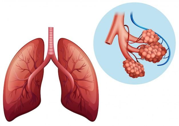 Anatomía humana del pulmón humano
