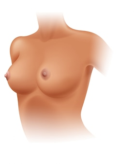 Anatomía de la mama femenina en el fondo blanco