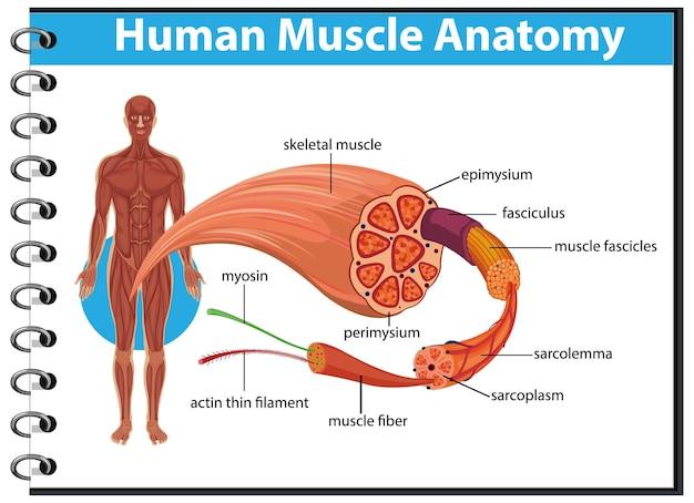 Anatomía del músculo humano con anatomía del cuerpo
