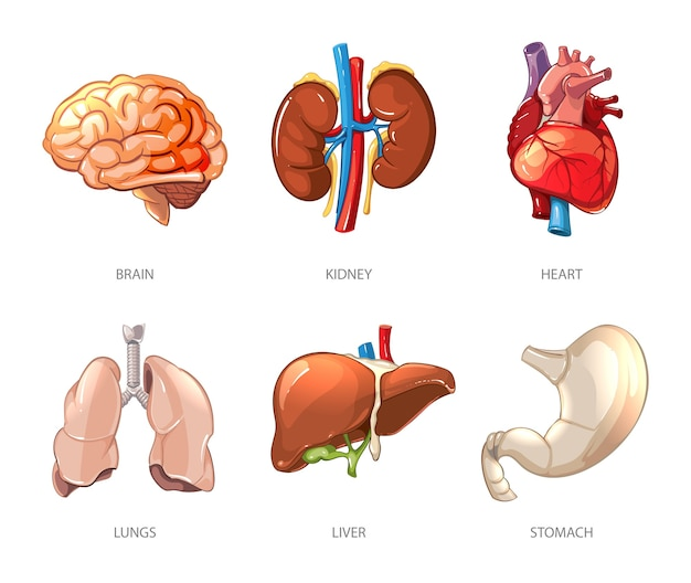 Anatomía de los órganos internos humanos en estilo vectorial de dibujos animados. ilustración de cerebro y riñón, hígado y pulmón, estómago y corazón