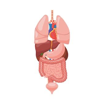 Anatomía de los órganos internos humanos.