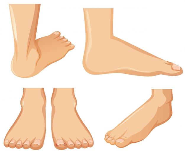 Anatomía del pie humano en el fondo blanco