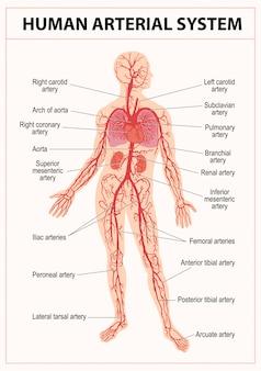 Anatomía del sistema circulatorio humano