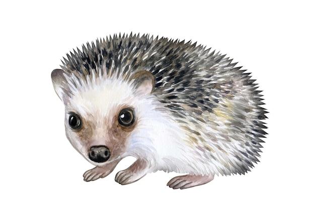 Animal erizo aislado sobre fondo blanco ilustración acuarela