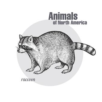 Animal del mapache de américa del norte.