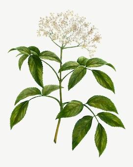Árbol de flor de saúco