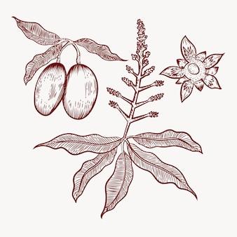 Árbol de mango botánico dibujado a mano