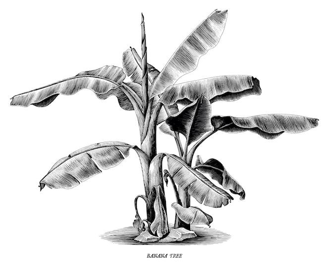 Árbol de plátano vintage mano dibujar grabado aislado sobre fondo blanco.