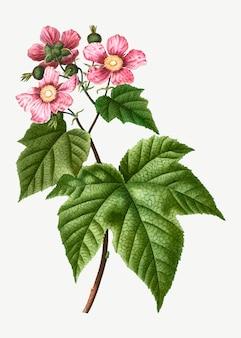 Arbusto floreciente de frambuesa