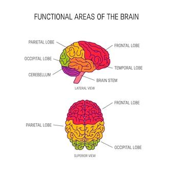 Áreas funcionales del cerebro.