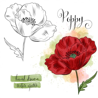 Arte botánico acuarela flor de amapola