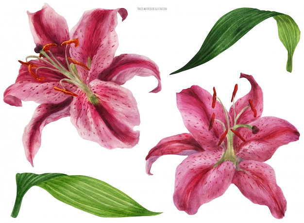 Asian lily stargazer, flores y hojas aisladas