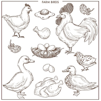 Aves de granja con pequeño nido y huevos frescos.
