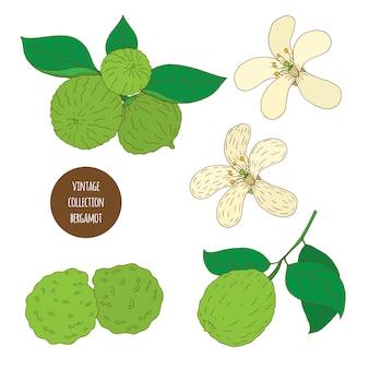 Bergamota. vector dibujado a mano conjunto de plantas cosméticas aisladas sobre fondo blanco