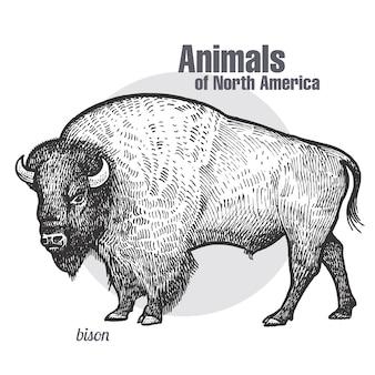 Bisontes de animales de américa del norte.