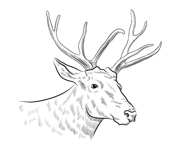Boceto de ciervo cabeza de ciervo