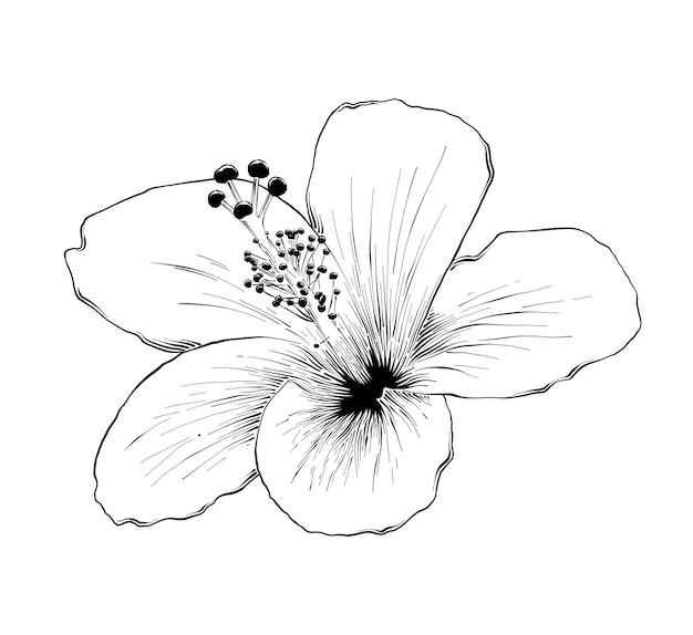 Boceto dibujado mano de flor de hibisco hawaiano