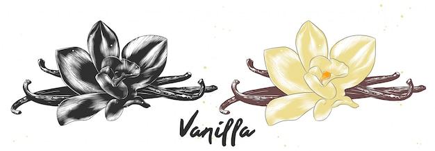 Boceto dibujado mano de flor de vainilla