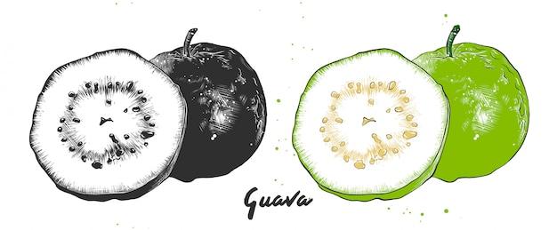 Boceto dibujado a mano de la fruta de guayaba.