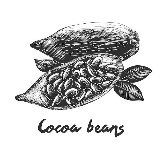 Boceto dibujado a mano de granos de cacao en monocromo