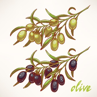 Boceto dibujado a mano de ramas de olivo
