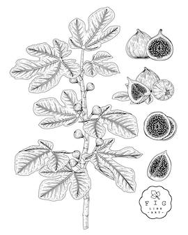 Bosquejo conjunto decorativo de frutas. fig. ilustraciones botánicas dibujadas a mano. blanco y negro con arte lineal aislado sobre fondos blancos. dibujos de frutas. elementos de estilo retro.