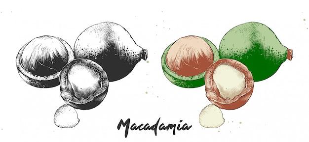 Bosquejo de grabado dibujado a mano de nueces de macadamia