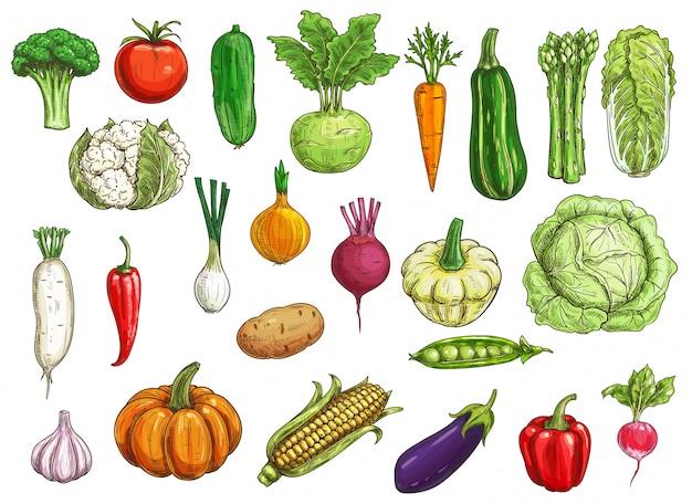 Bosquejos de verduras de granja