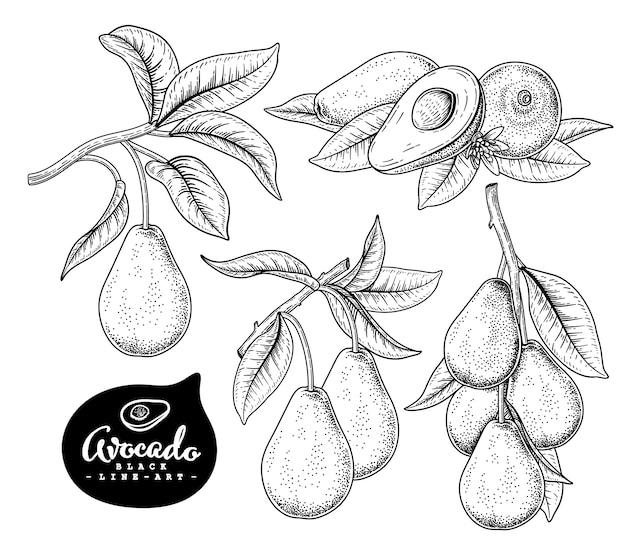 Botánico dibujado a mano de aguacate aislado en blanco