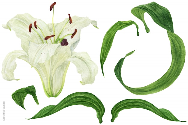 Brote de flor y hojas de lirio oriental trazan acuarela