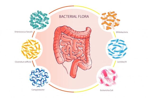 Buena flora bacteriana ilustración vector de colon humano