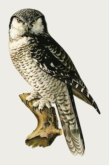 Búho halcón norteño pájaro dibujado a mano