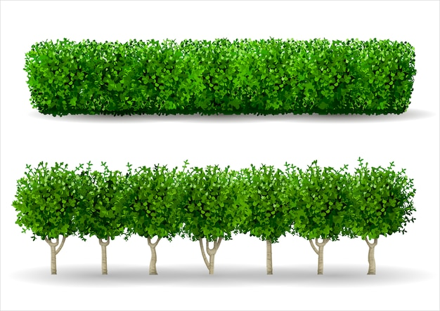 Bush en forma de un seto verde