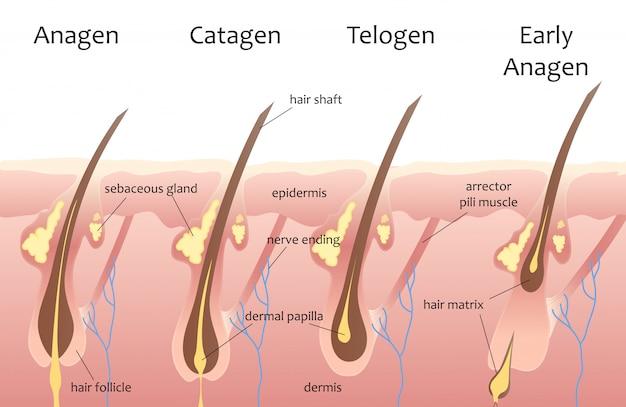 Cabeza humana ciclo de crecimiento del cabello