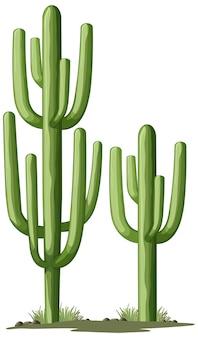 Cactus verde aislado para decoración
