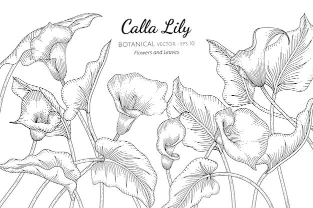 Calla lily flor y hoja dibujada a mano ilustración botánica con arte lineal sobre fondos blancos.