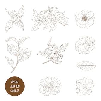 Camellia sinensis flores y rama. cosmética, perfumería y planta médica. ilustración dibujada a mano vintage.