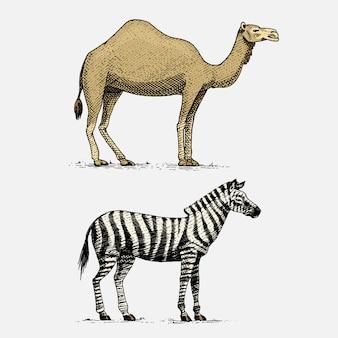 Camello y cebra dibujados a mano, animales salvajes grabados en estilo vintage o retro, conjunto de zoología africana