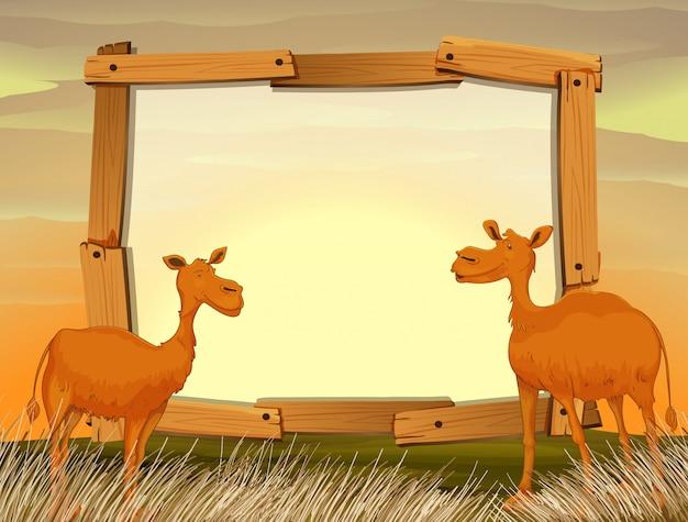 Camellos con camellos en el campo.