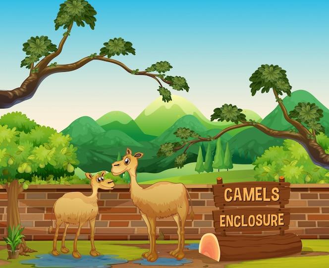 Camellos felices en el zoológico abierto